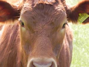 brown_cow_197654